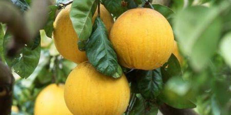 Citrons © OT Menton