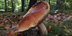 Promenades forestières à la cueillette aux champignons