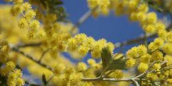 Week-end sur la Route du mimosa vers le « soleil d'hiver »